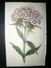Curtis 1792 Hand Col Botanical Print. Bearded Pink or Sweet William 207